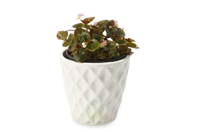 Buy Begona Dwarf Plant Front View, White Pots and Seeds in Delhi NCR by the best online nursery shop Greendecor.