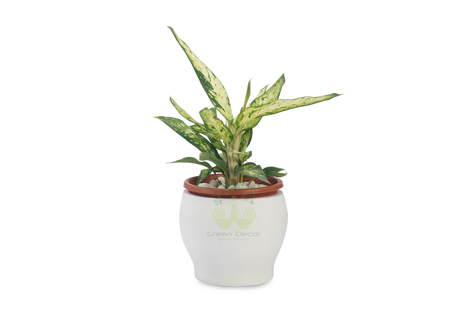 Buy Aglaonema Philipica Plants , White Pots and seeds in Delhi NCR by the best online nursery shop Greendecor.