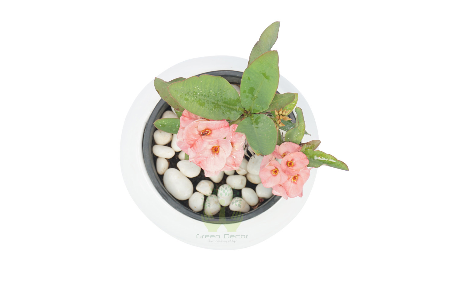 Buy Euphorbia Milli-Pink Plants , White Pots and seeds in Delhi NCR by the best online nursery shop Greendecor.