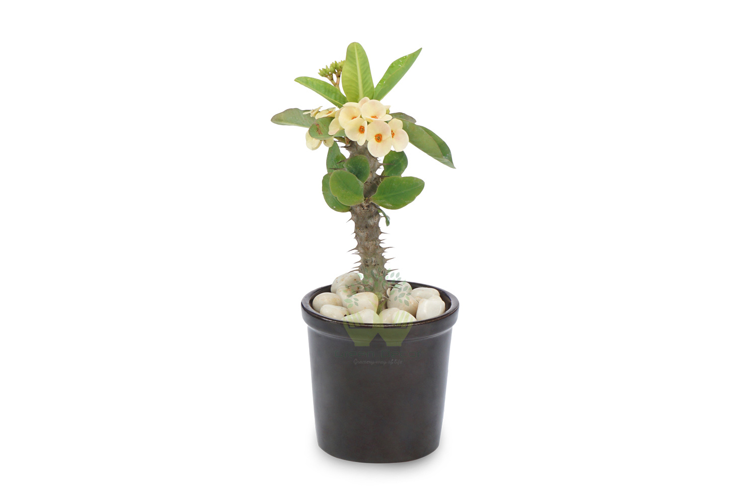 Buy Euphorbia Milli-Yellow Plants , White Pots and seeds in Delhi NCR by the best online nursery shop Greendecor.