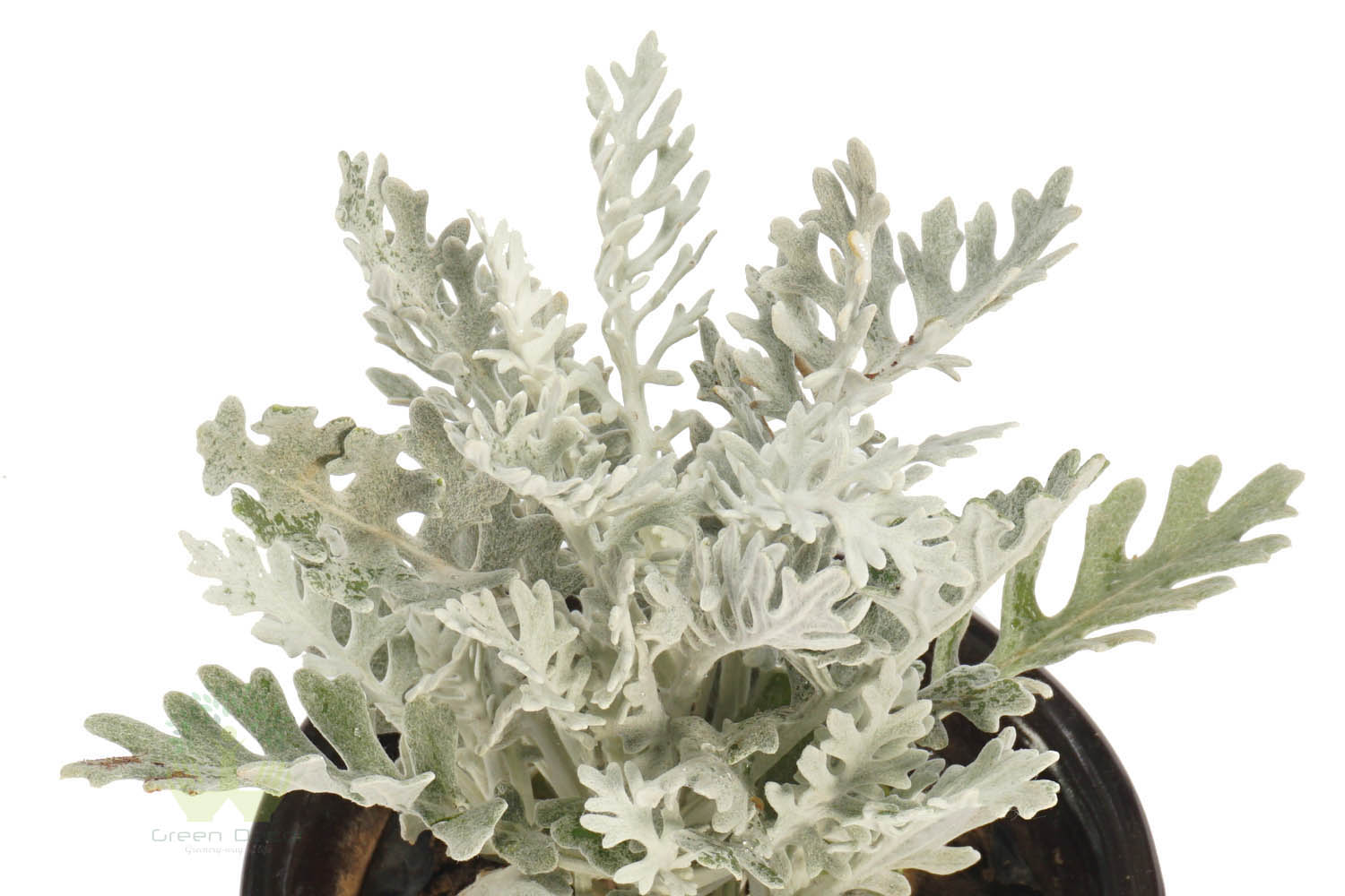 Buy Silver Dust Plants , White Pots and seeds in Delhi NCR by the best online nursery shop Greendecor.