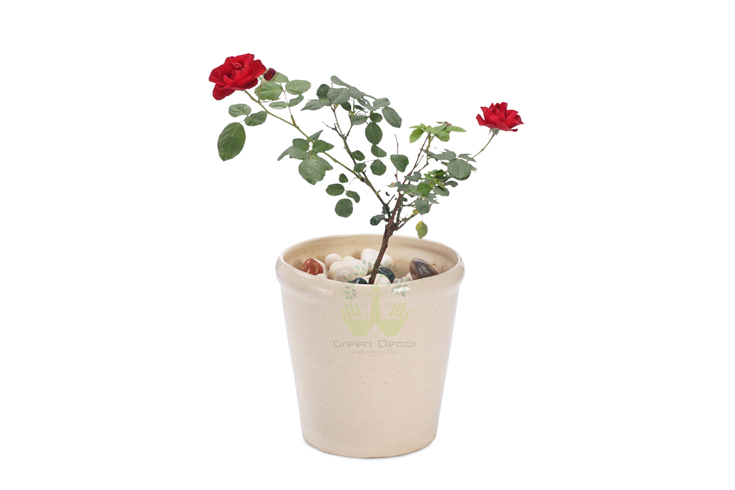 Buy Damascus Scented Rose Plants , White Pots and seeds in Delhi NCR by the best online nursery shop Greendecor.