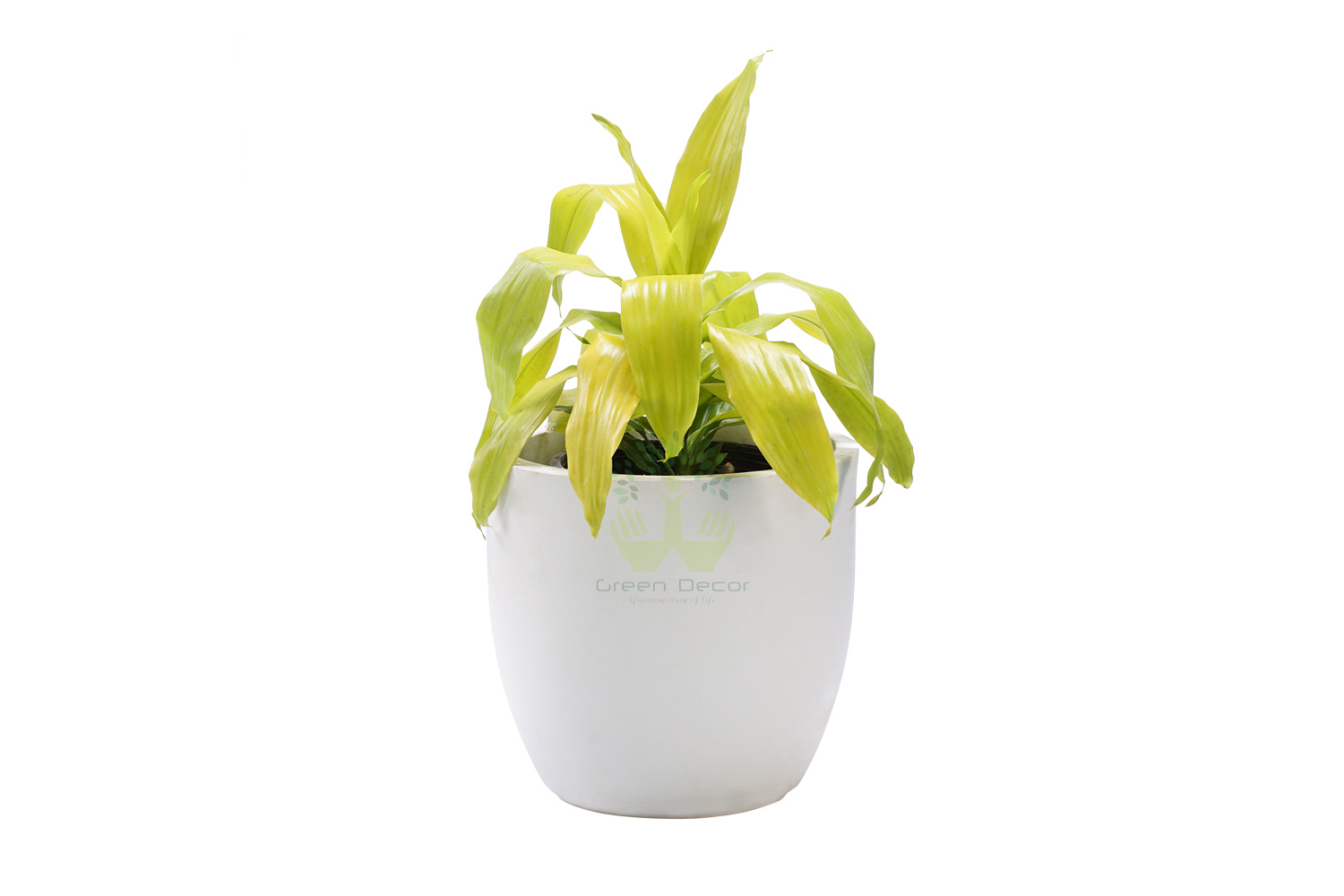 BuyDracaena Golden Plants , White Pots and seeds in Delhi NCR by the best online nursery shop Greendecor.