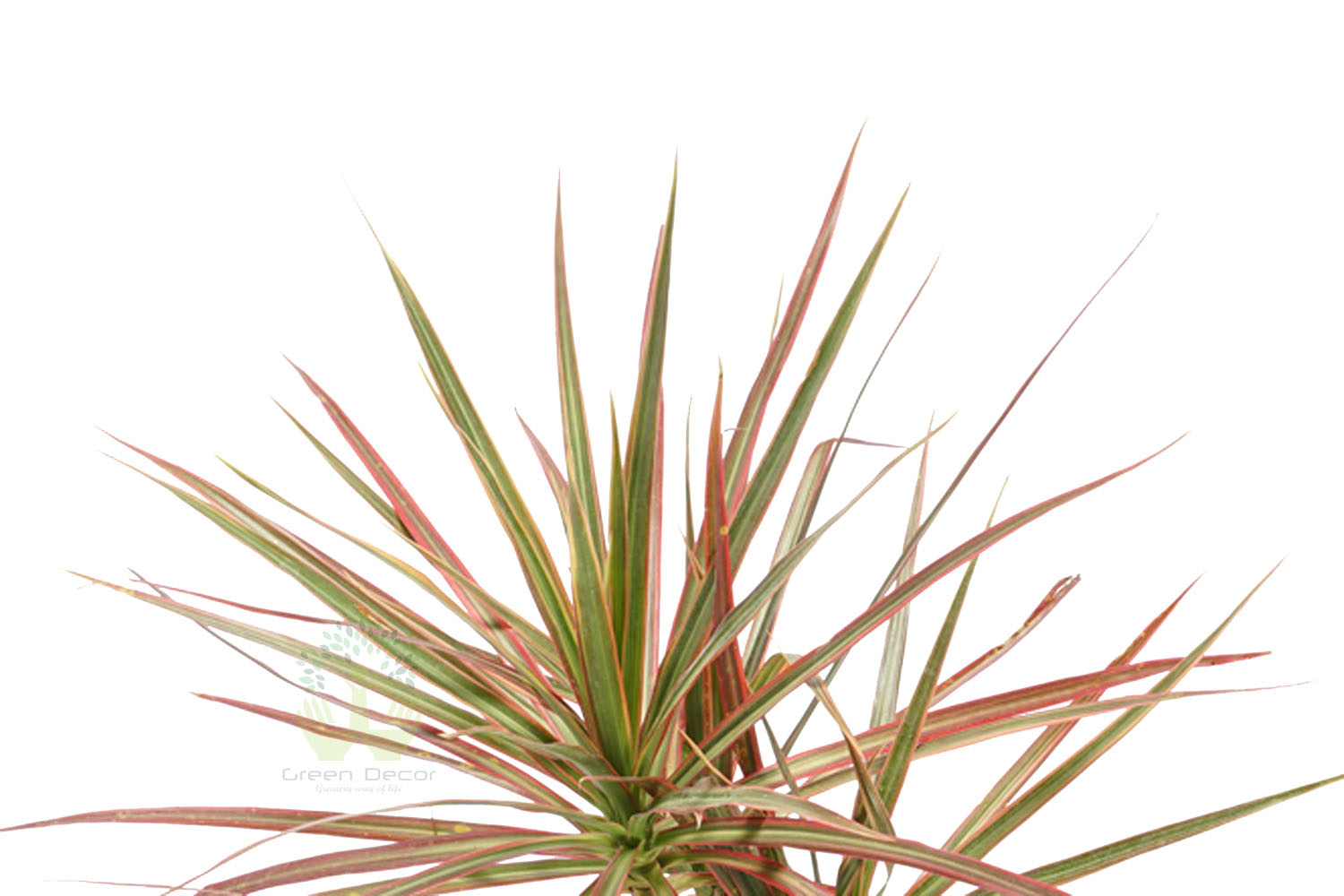 Buy Dracaena Marginata Tricolor Plant Leaves View, White Pots and Seeds in Delhi NCR by the best online nursery shop Greendecor.