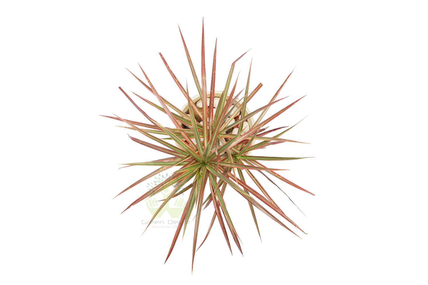 Buy Dracaena Marginata Tricolor Plant Top View, White Pots and Seeds in Delhi NCR by the best online nursery shop Greendecor.
