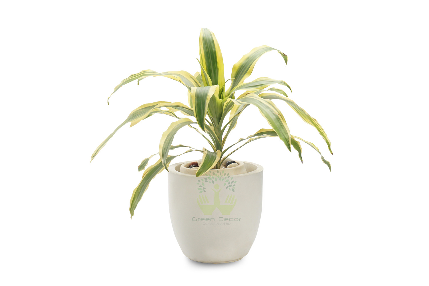 Buy Dracaena victoria Plants , White Pots and seeds in Delhi NCR by the best online nursery shop Greendecor.