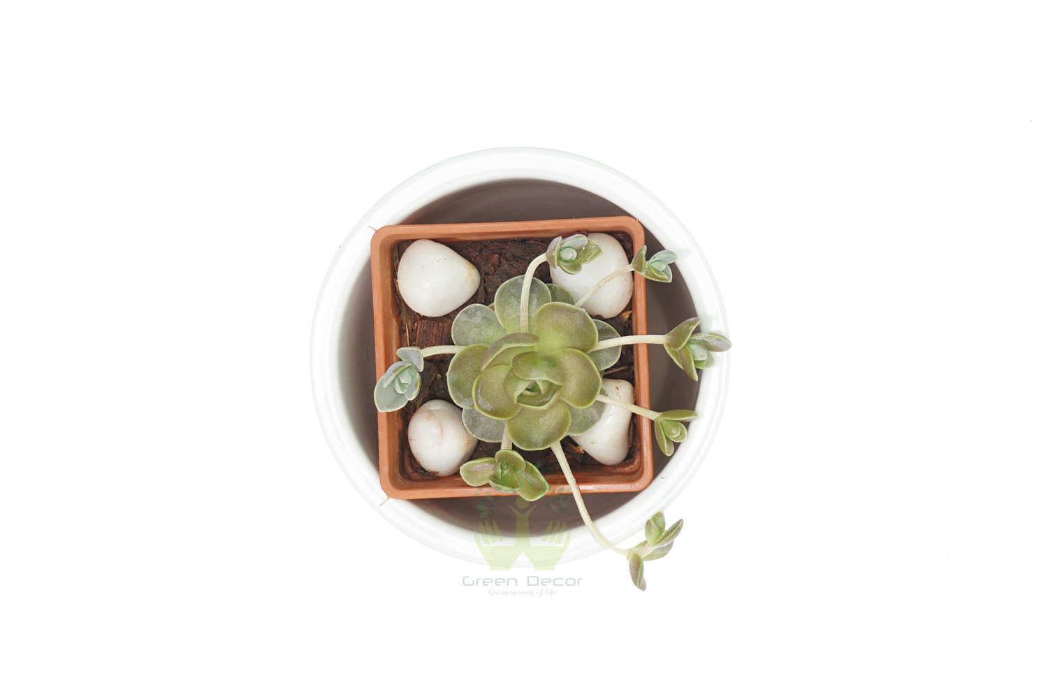 Buy Echeveria Imbricata Plant Top View by the best online nursery shop Greendecor.
