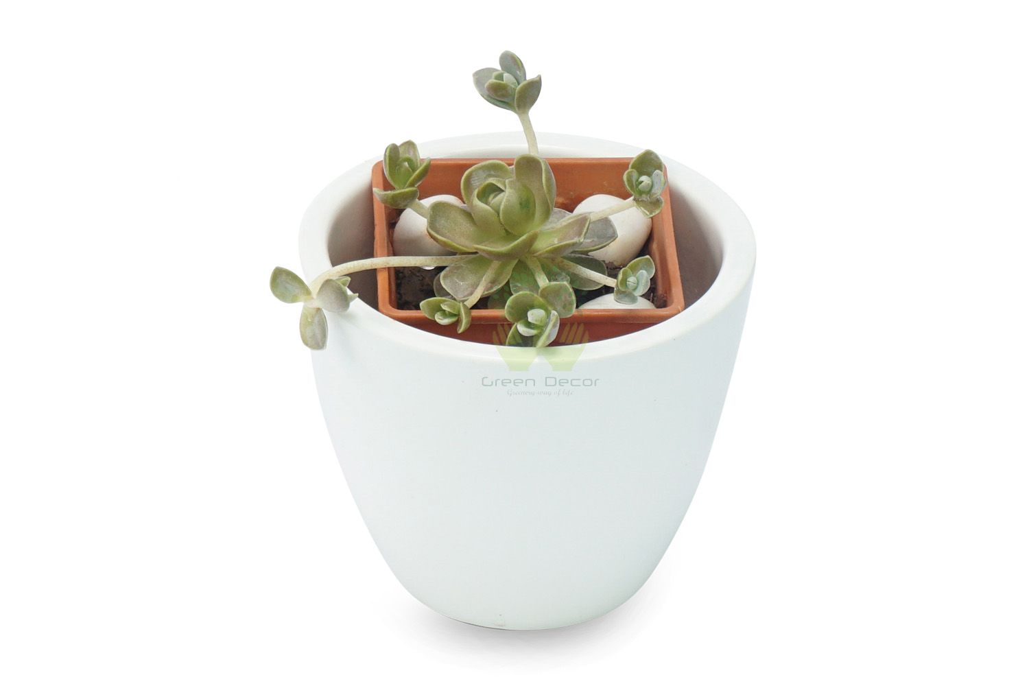 Buy Echeveria Imbricata Plant Front View, White Pots and Seeds in Delhi NCR by the best online nursery shop Greendecor.