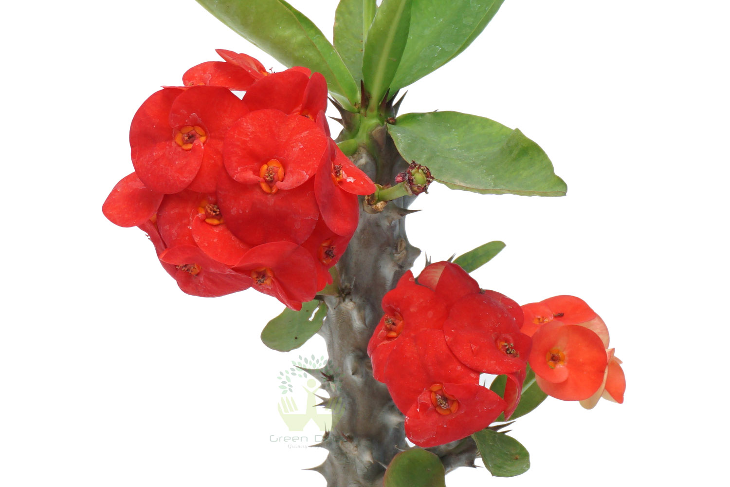 Buy Euphorbia Milli Plants , White Pots and seeds in Delhi NCR by the best online nursery shop Greendecor.