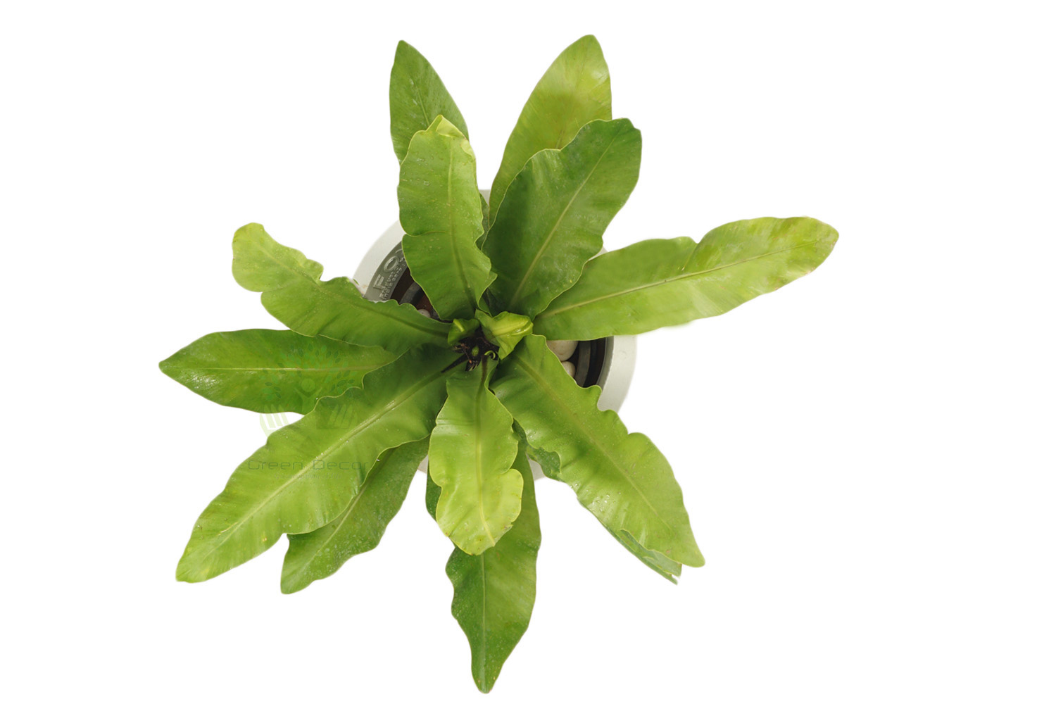 Buy Asplenium Nidus Plants , White Pots and seeds in Delhi NCR by the best online nursery shop Greendecor.