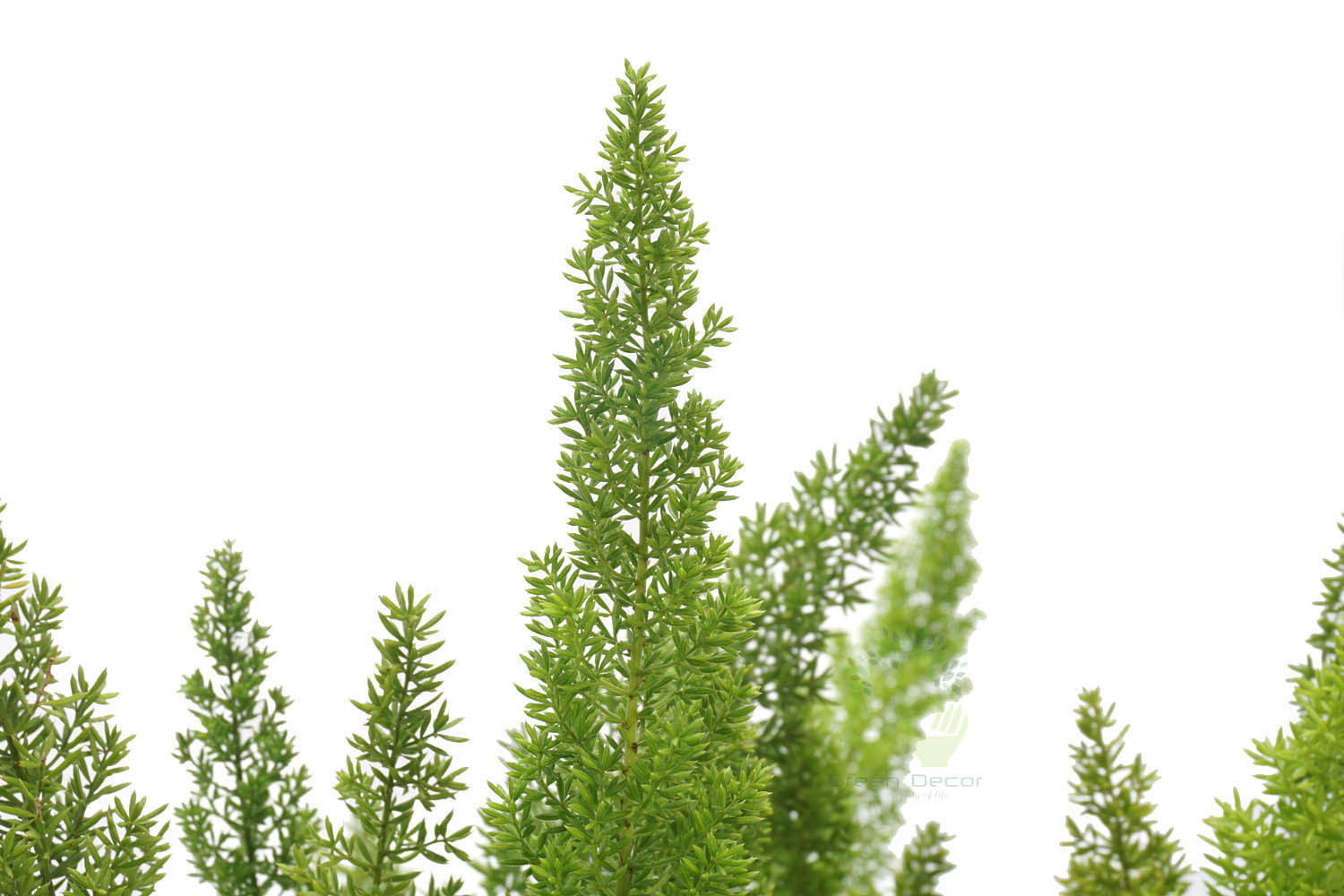 Buy Foxtail Fern Plants , White Pots and seeds in Delhi NCR by the best online nursery shop Greendecor.