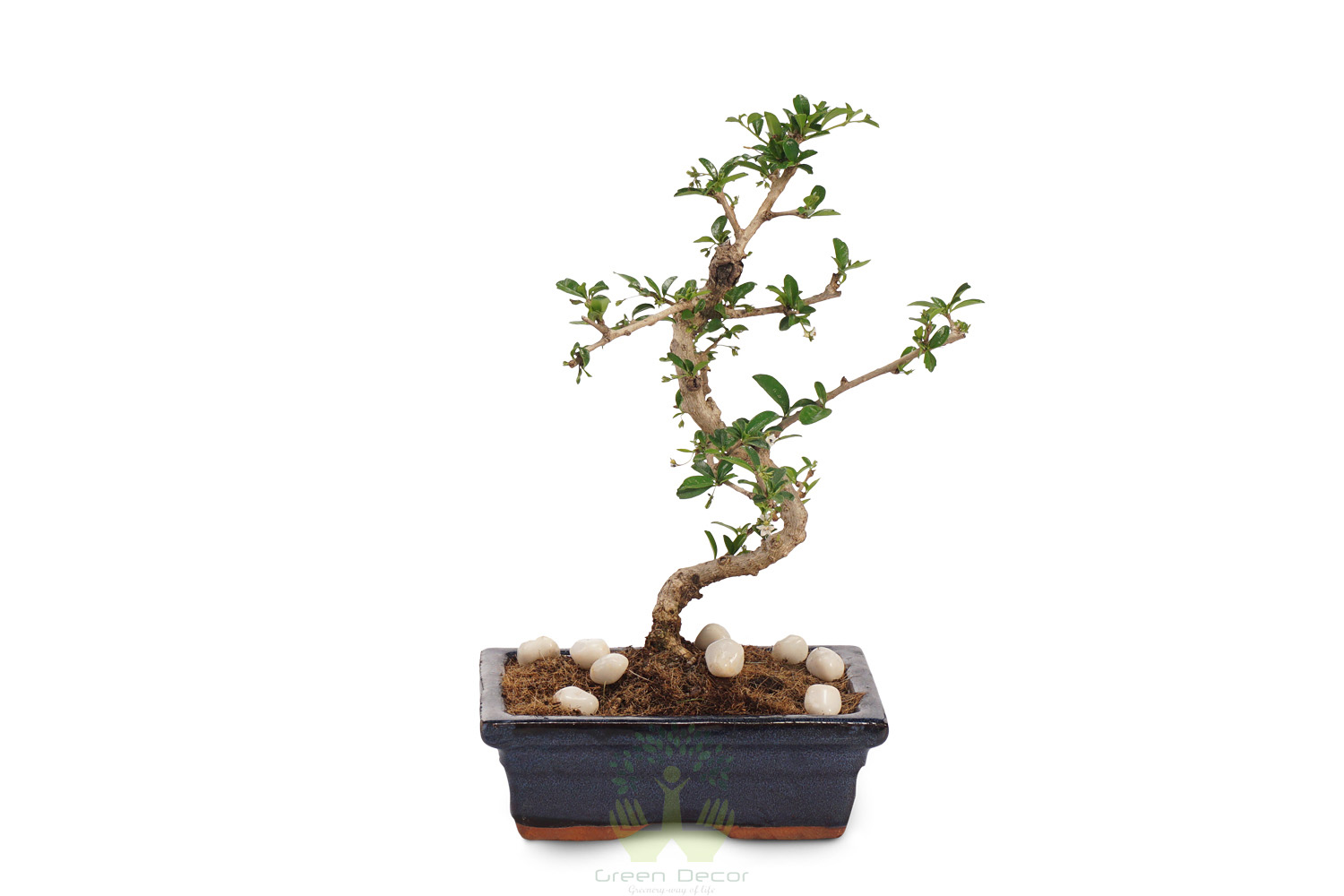 Buy Ficus Plant Front View , White Pots and Seeds in Delhi NCR by the best online nursery shop Greendecor.