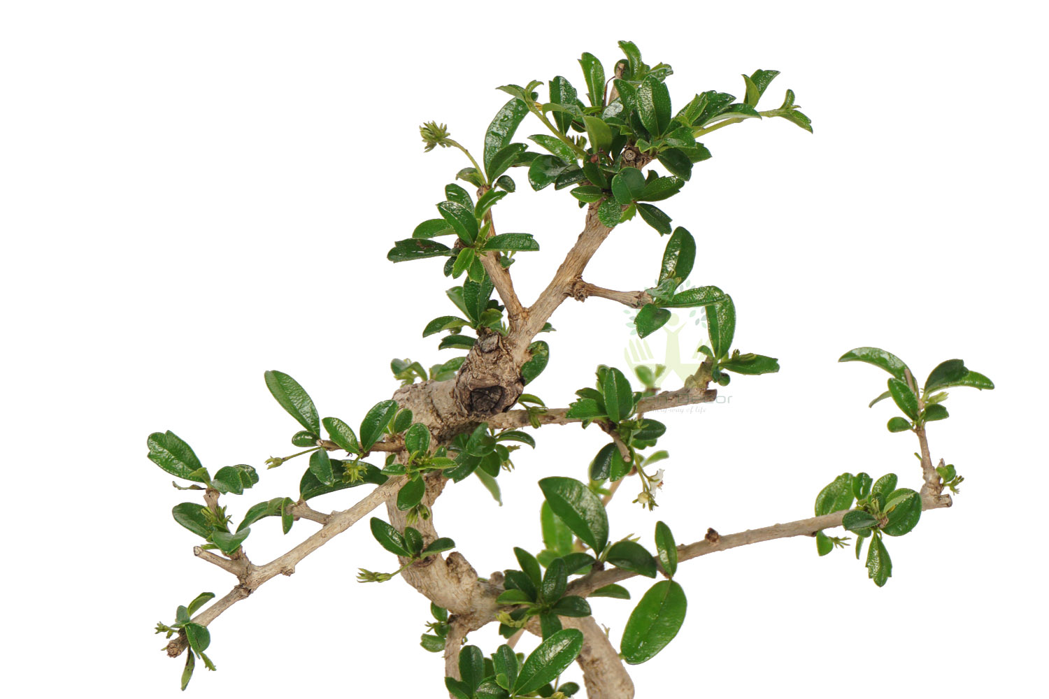 Buy Ficus Plant Top View , White Pots and Seeds in Delhi NCR by the best online nursery shop Greendecor.