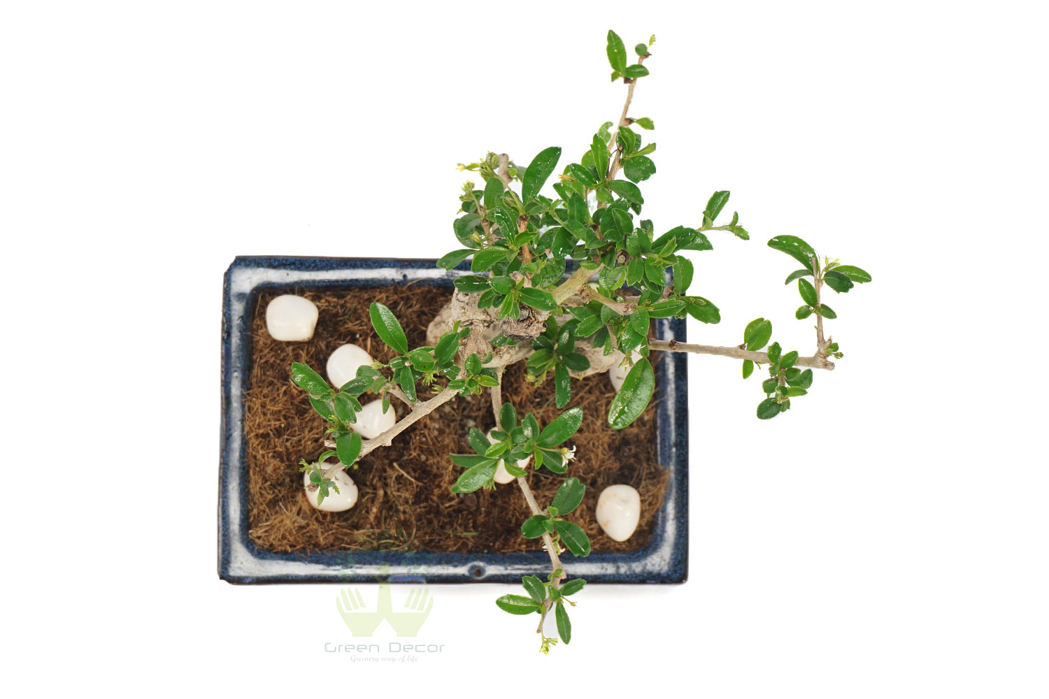 Buy Ficus Plant Leaves View , White Pots and Seeds in Delhi NCR by the best online nursery shop Greendecor.