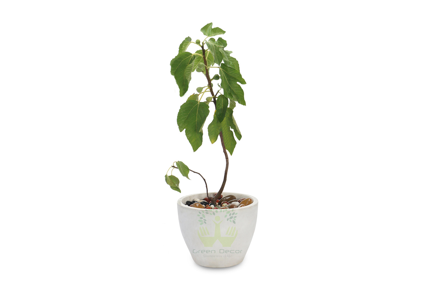 Buy Anjeer Plants , White Pots and seeds in Delhi NCR by the best online nursery shop Greendecor.