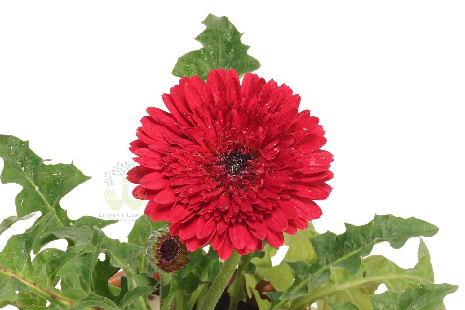 Buy Gerbera Pink Plant Leaves View, White Pots and Seeds in Delhi NCR by the best online nursery shop Greendecor.