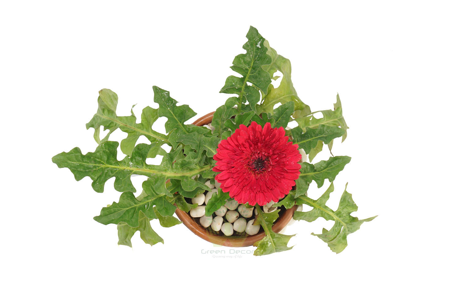Buy Gerbera Pink Plant Top View by the best online nursery shop Greendecor.