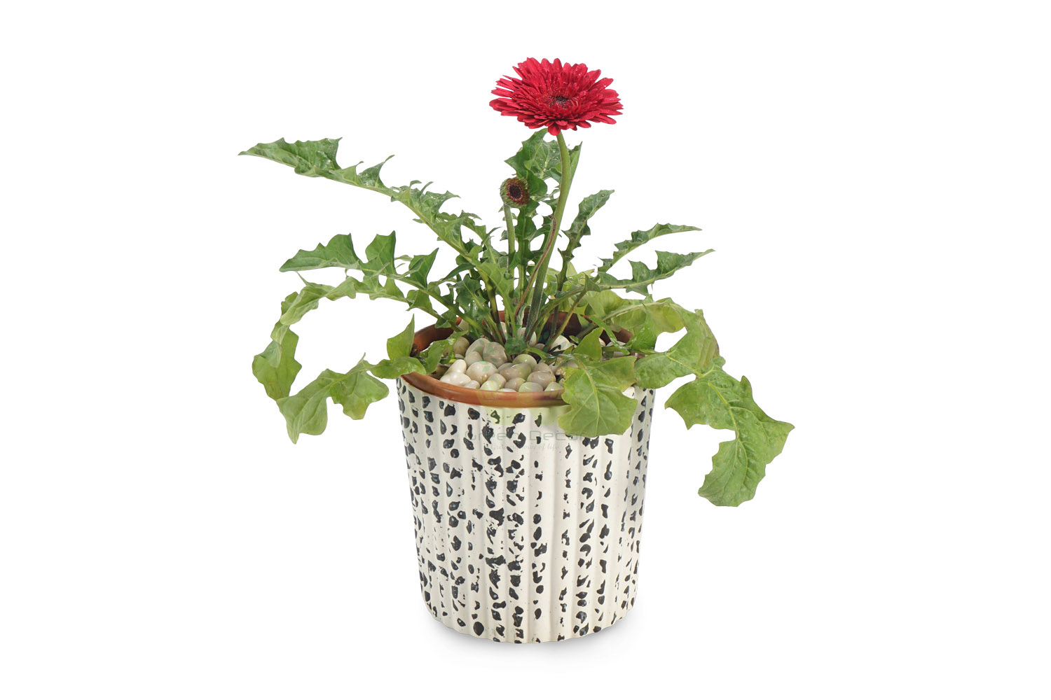 Buy Gerbera Pink Plant Front View, White Pots and Seeds in Delhi NCR by the best online nursery shop Greendecor.