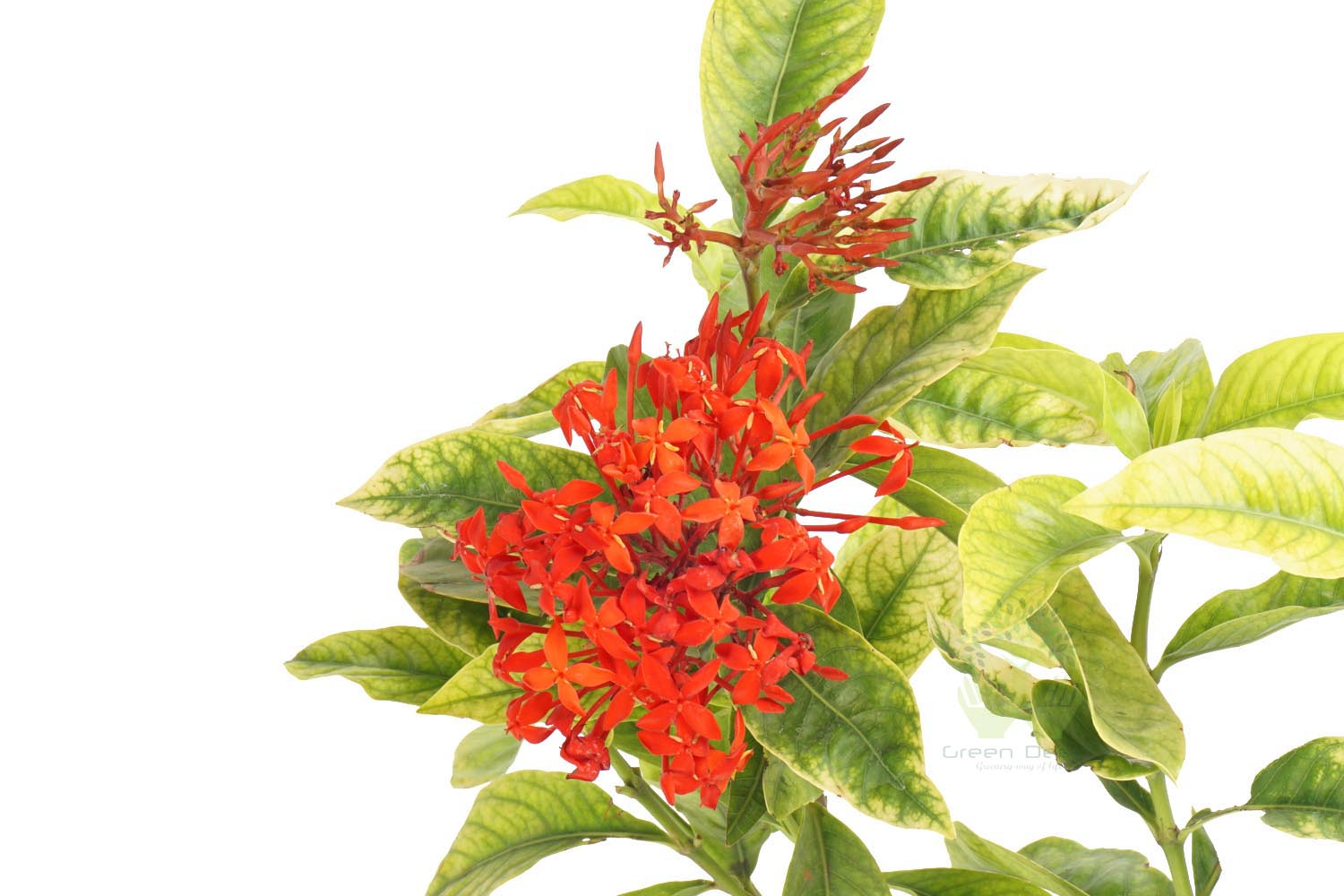 Buy Ixora Plant Leaves View in Delhi NCR by the best online nursery shop Greendecor.