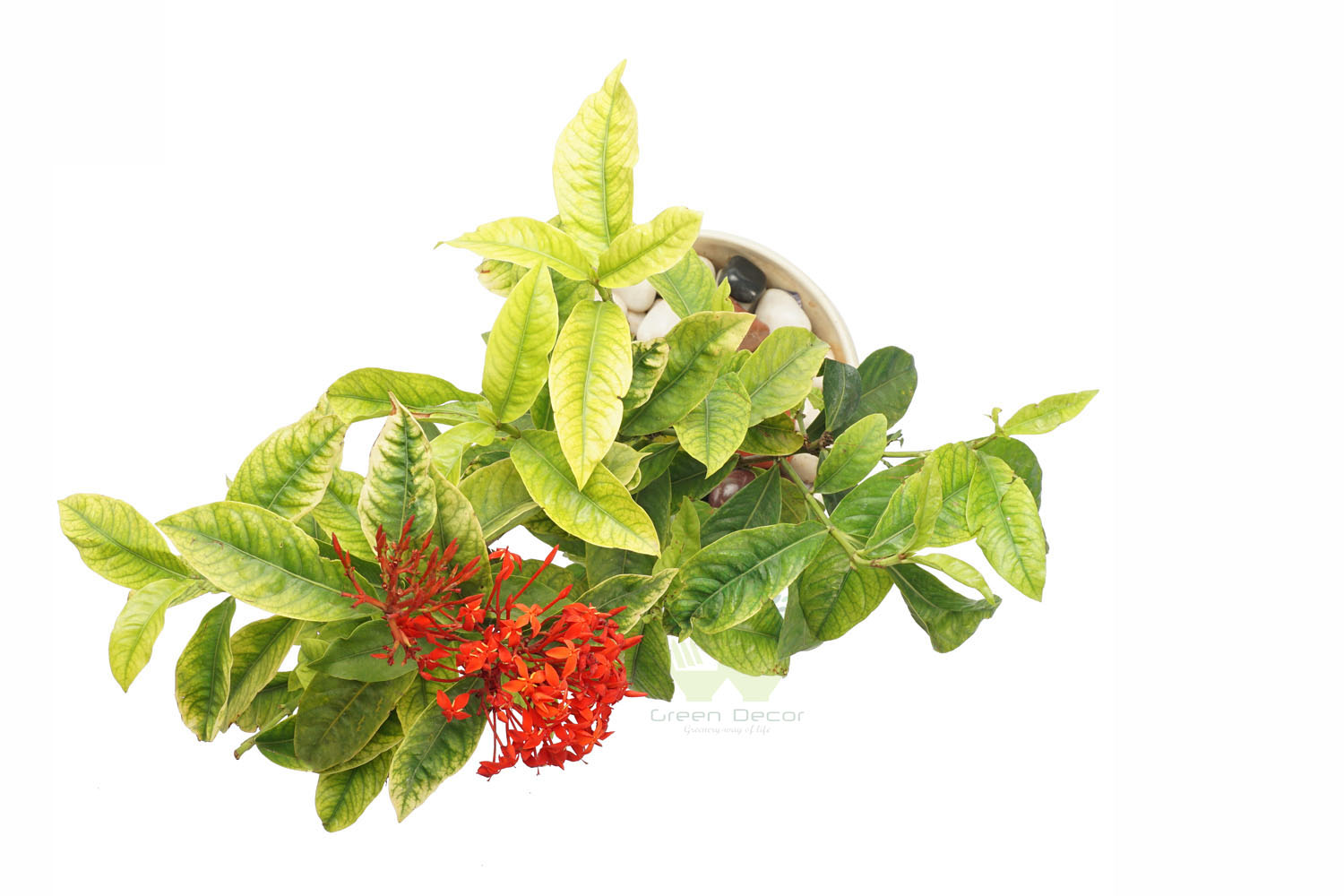 Buy Ixora Plant Top View by the best online nursery shop Greendecor.
