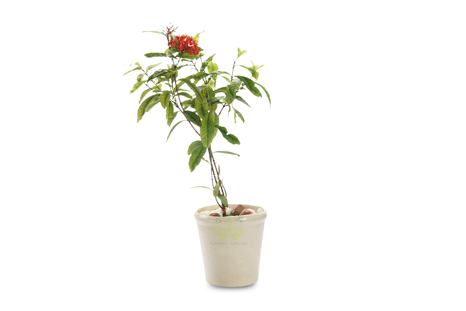 Buy Ixora Plant Front View, White Pots and Seeds in Delhi NCR by the best online nursery shop Greendecor.