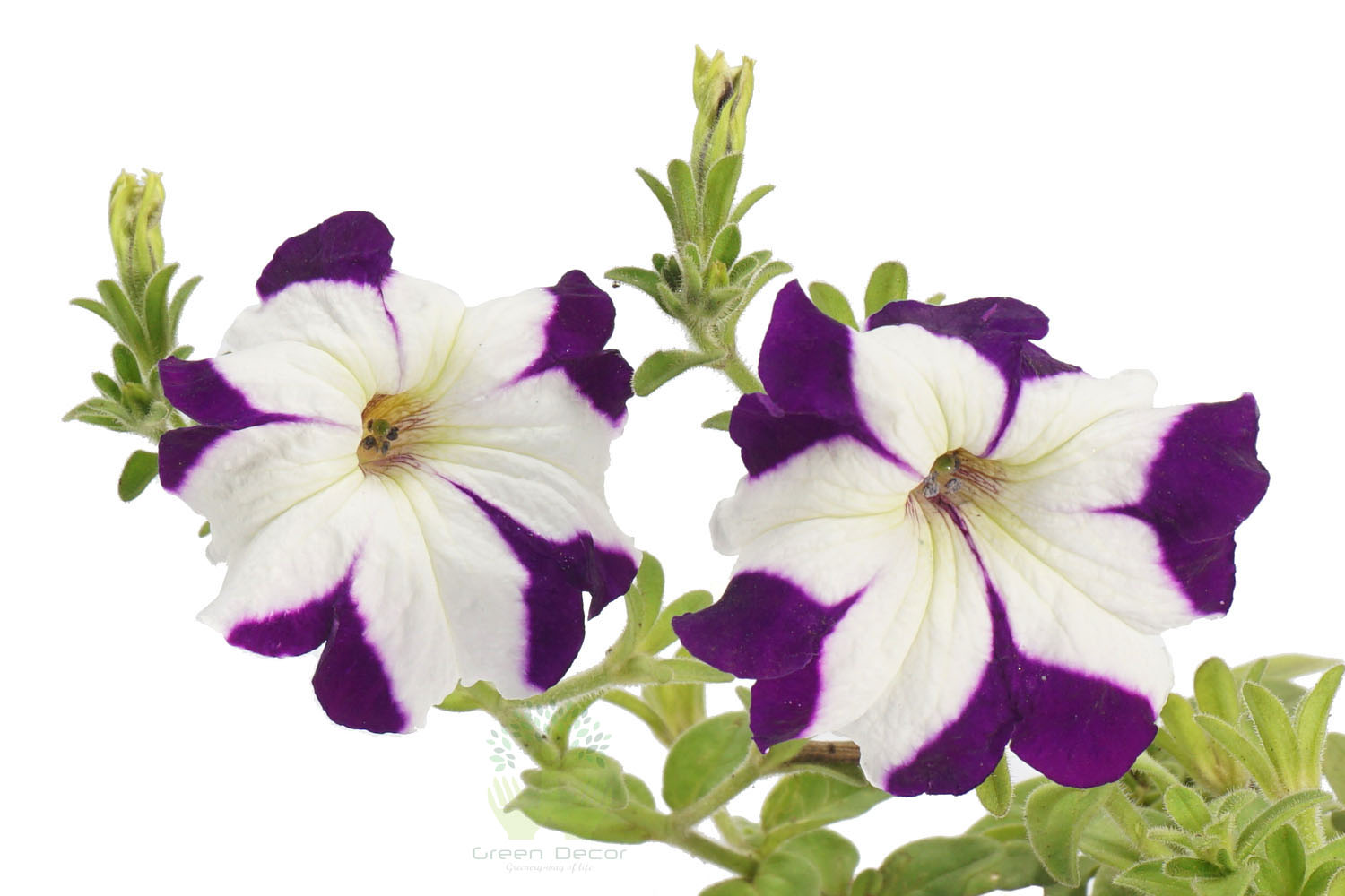 Buy Petunia Voilet closeup View , White Pots and seeds in Delhi NCR by the best online nursery shop Greendecor.