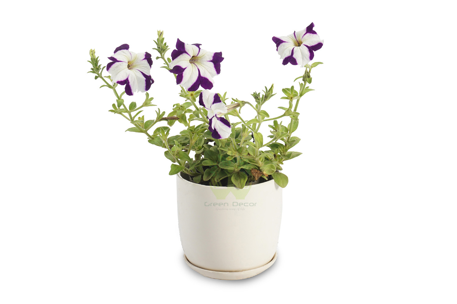 Buy Petunia Voilet Front View , White Pots and seeds in Delhi NCR by the best online nursery shop Greendecor.