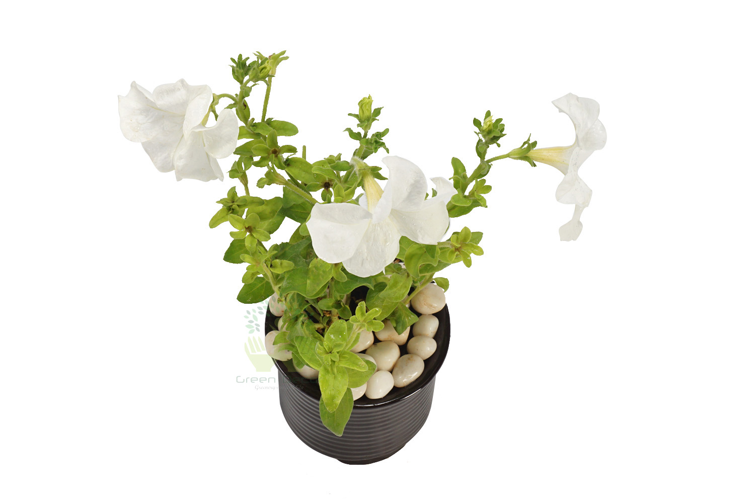 Buy Petunia White Plant Top View by the best online nursery shop Greendecor.