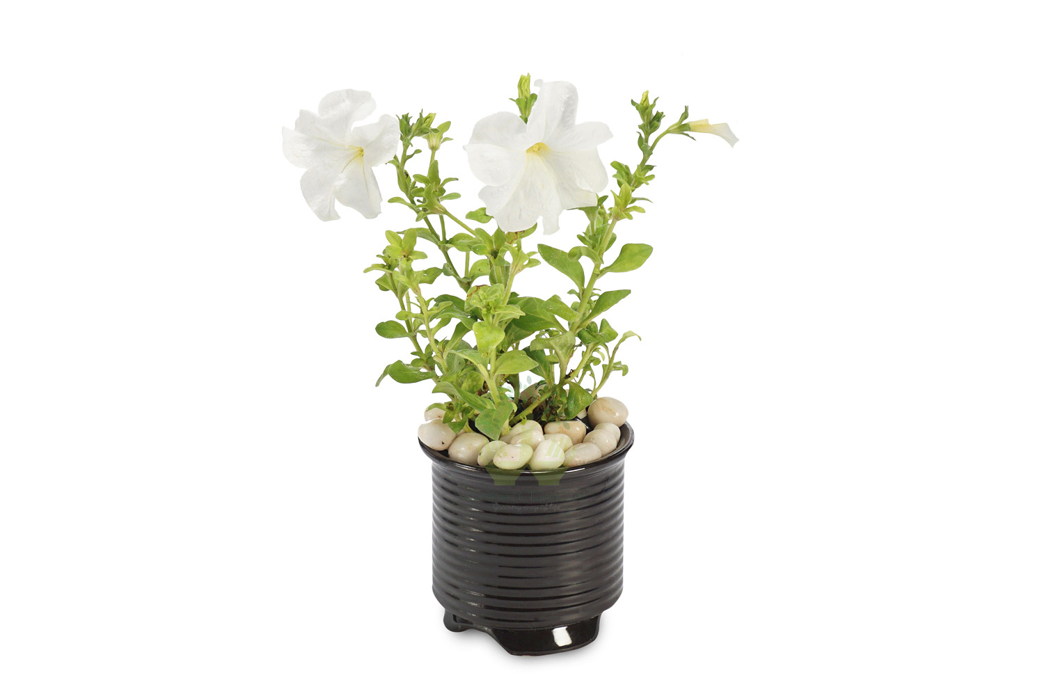 Buy Petunia White Plant Front View, White Pots and Seeds in Delhi NCR by the best online nursery shop Greendecor.