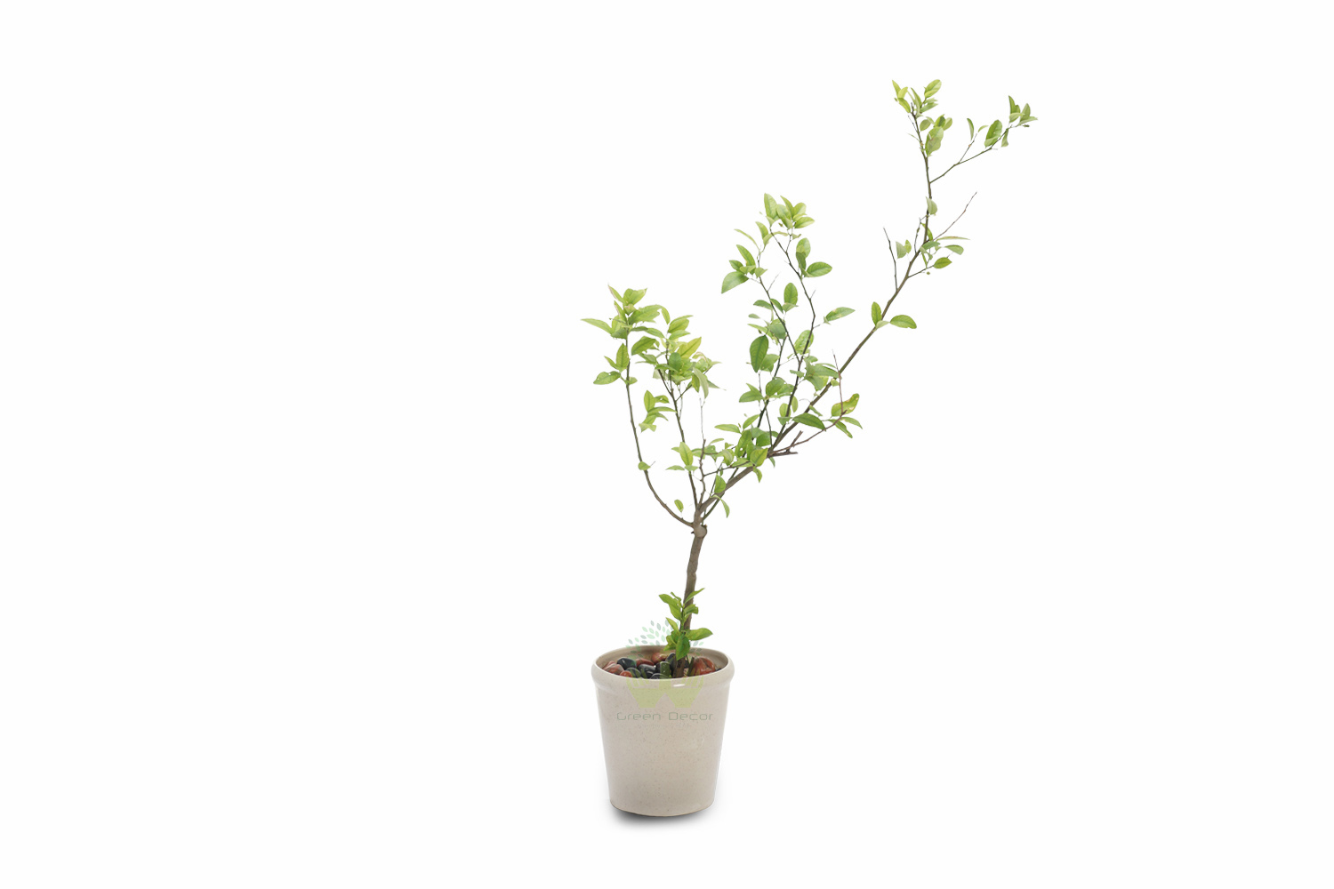 Buy Orange Plants , White Pots and seeds in Delhi NCR by the best online nursery shop Greendecor.