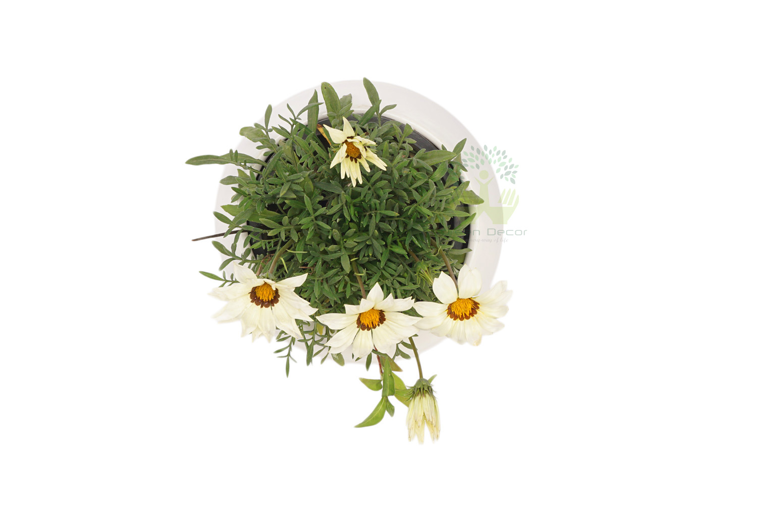 Buy Gazania Plants , White Pots and seeds in Delhi NCR by the best online nursery shop Greendecor.
