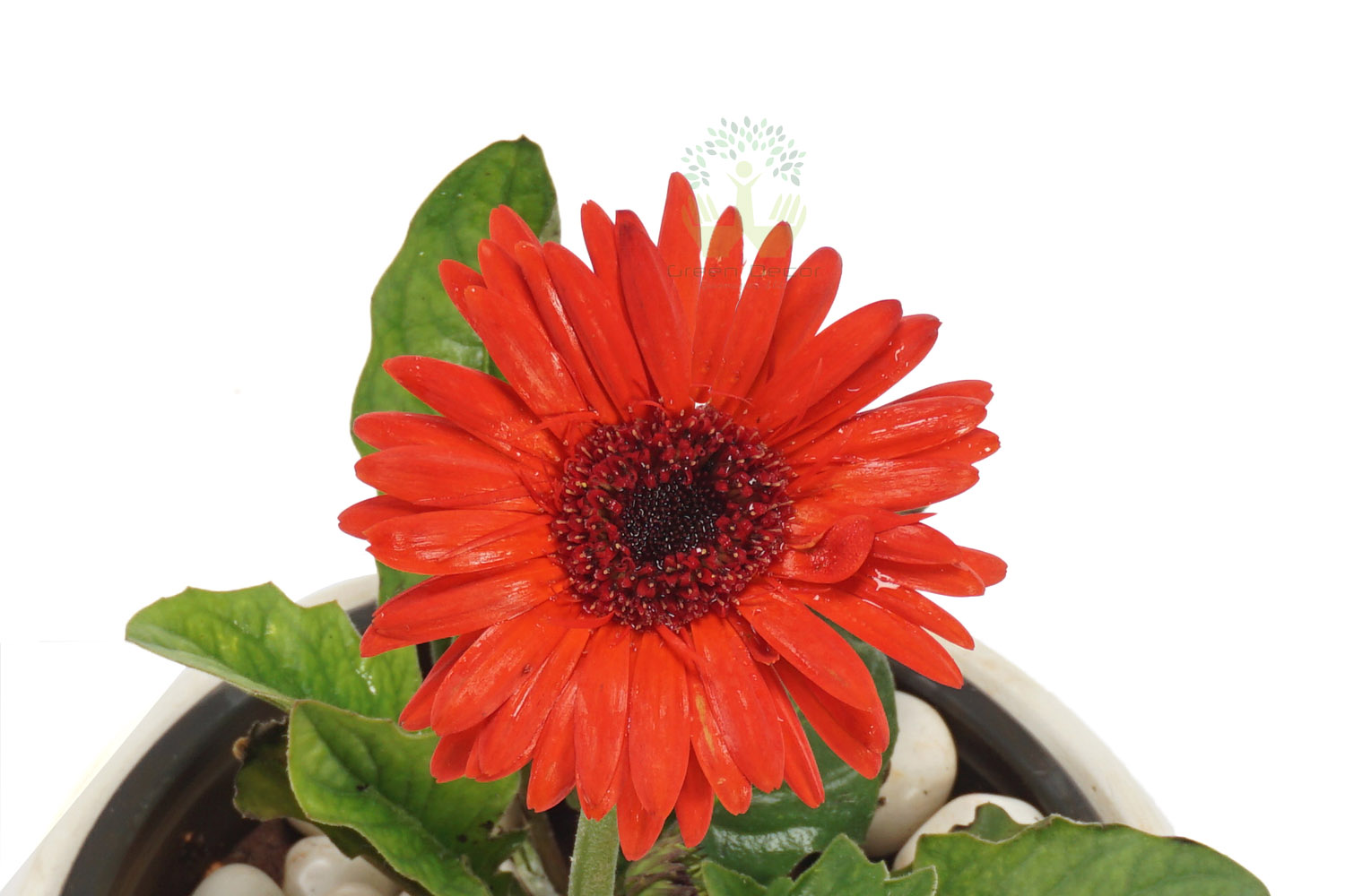 Buy Gerbera Daisy Plants , White Pots and seeds in Delhi NCR by the best online nursery shop Greendecor.