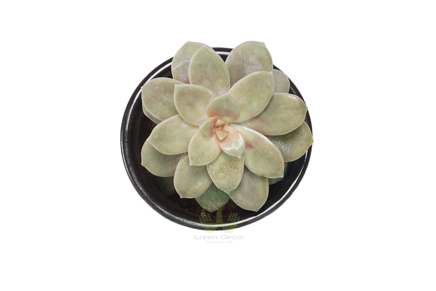 Buy Graptoveria Opalina Plants , White Pots and seeds in Delhi NCR by the best online nursery shop Greendecor.