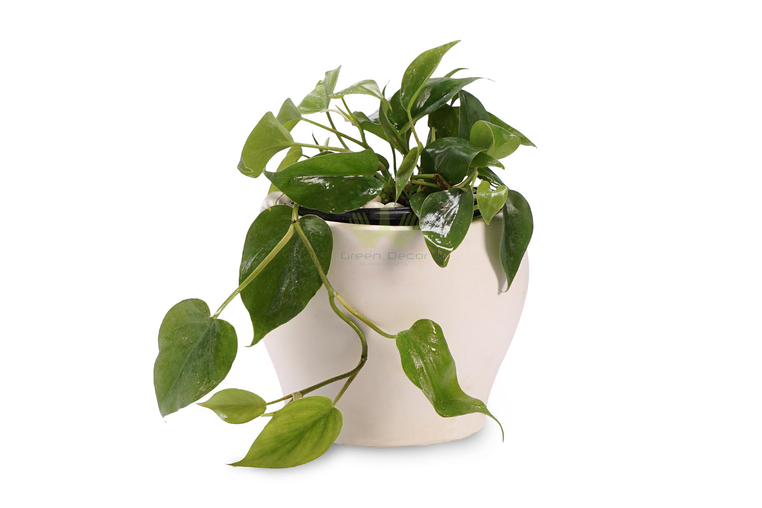 Buy Heartleaf Philodendron Plant in Delhi with a pot