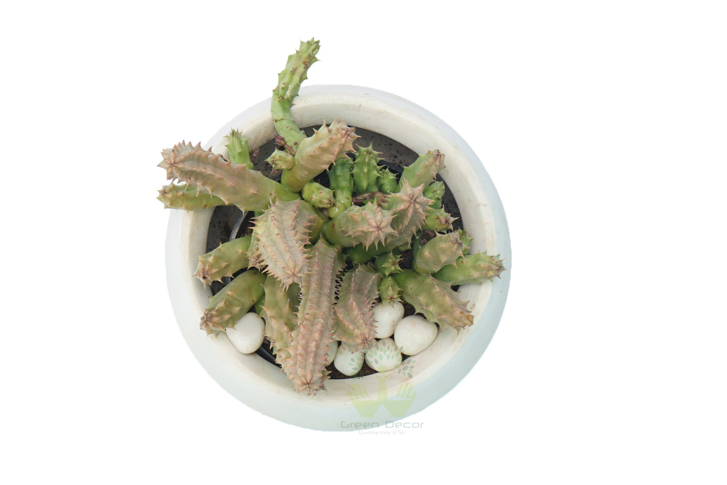 Buy Huernia Schneideriana Plants , White Pots and seeds in Delhi NCR by the best online nursery shop Greendecor.