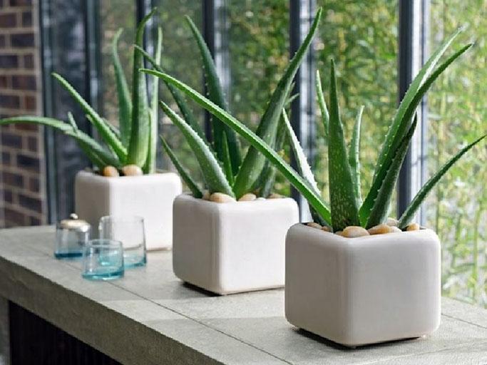 Buy Aloe Vera Online, Order for Aloe Vera Plants in Delhi - Green Decor