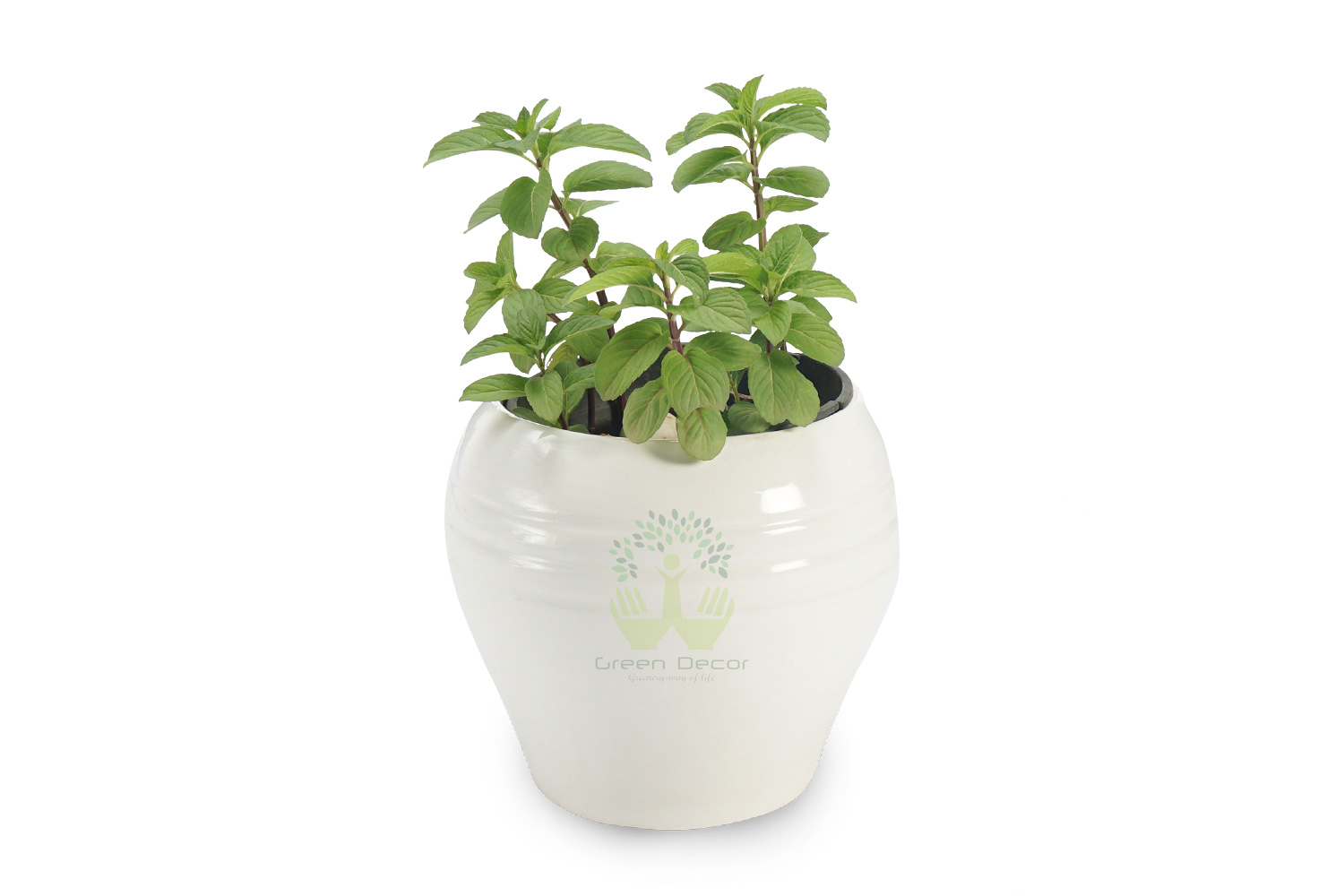 Buy Lemon Balm Plants , White Pots and seeds in Delhi NCR by the best online nursery shop Greendecor.