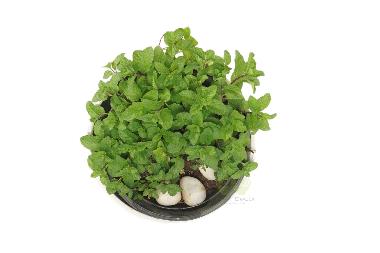 Buy Mint Plants , White Pots and seeds in Delhi NCR by the best online nursery shop Greendecor.