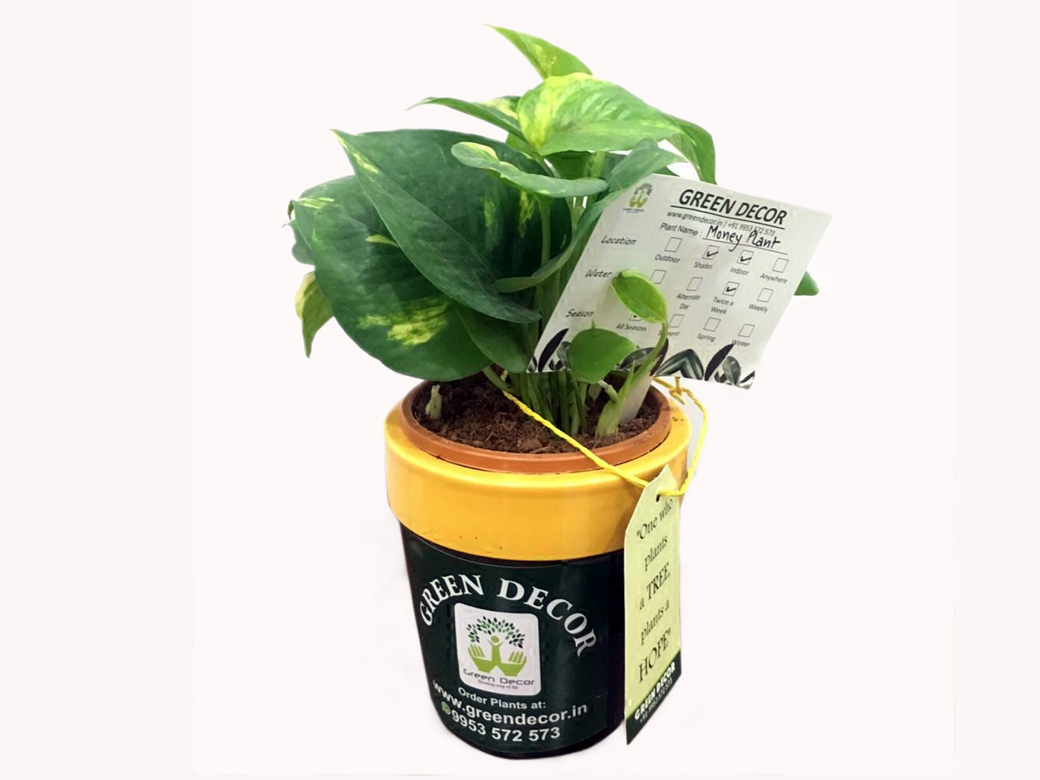 Money Plant with Ceramic Pots by Green Decor