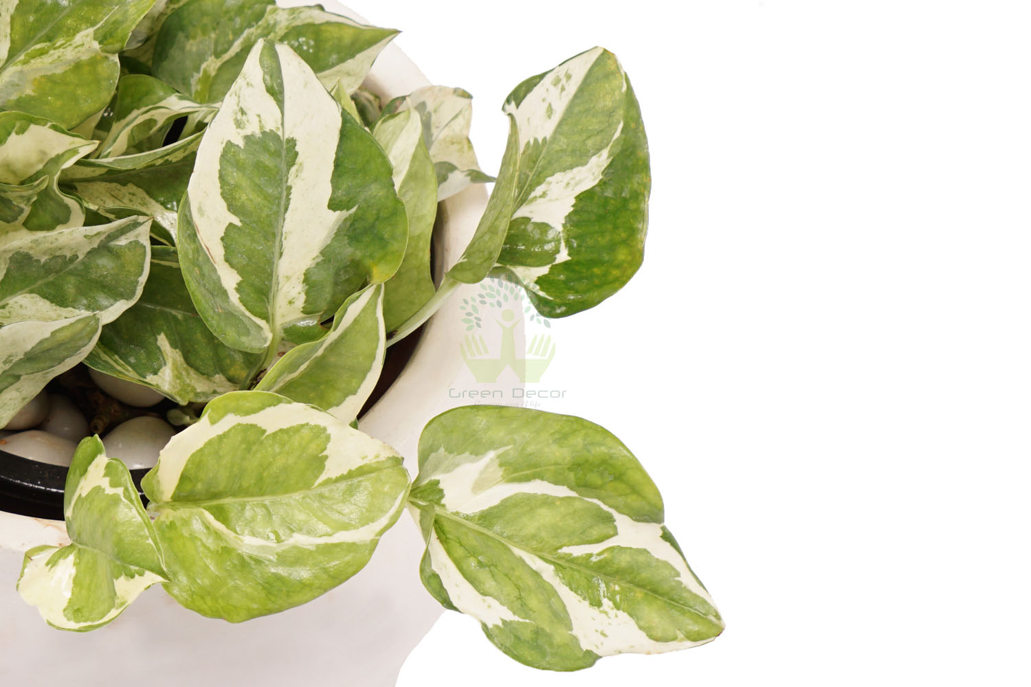 Buy  Money Plants , White Pots and seeds in Delhi NCR by the best online nursery shop Greendecor.
