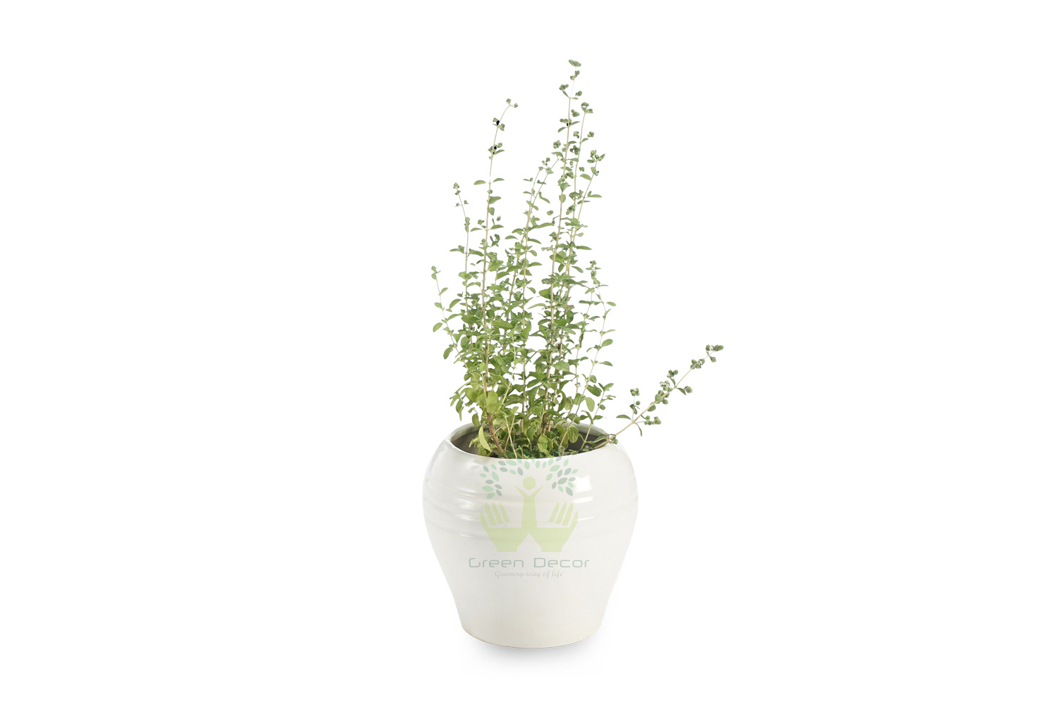 Buy Oregano Plants , White Pots and seeds in Delhi NCR by the best online nursery shop Greendecor.