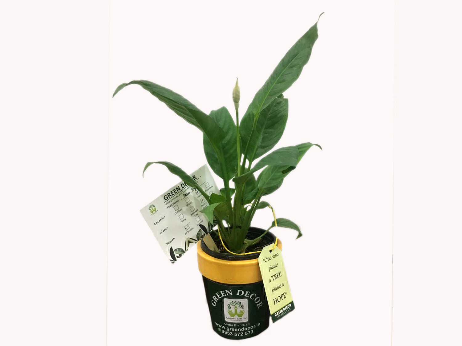 Peace Lily with Ceramic Pot Online