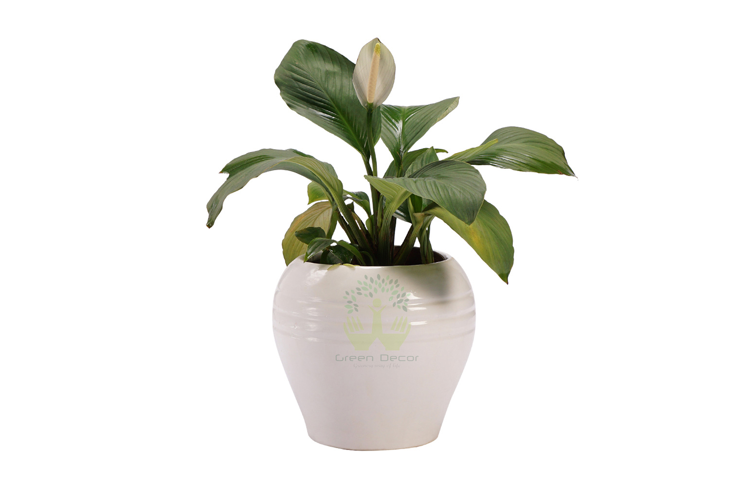 Buy Peace Lily Plants,pots and seeds in Delhi NCR by the best online nursery shop Greendecor.