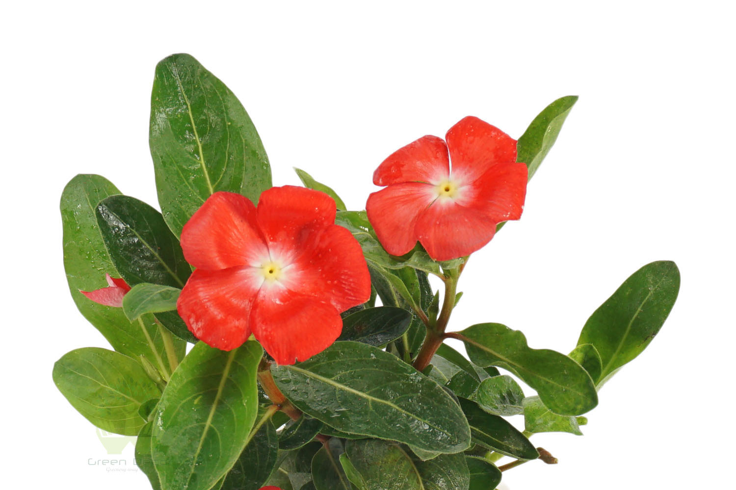 Buy Periwinkle Plants , White Pots and seeds in Delhi NCR by the best online nursery shop Greendecor.