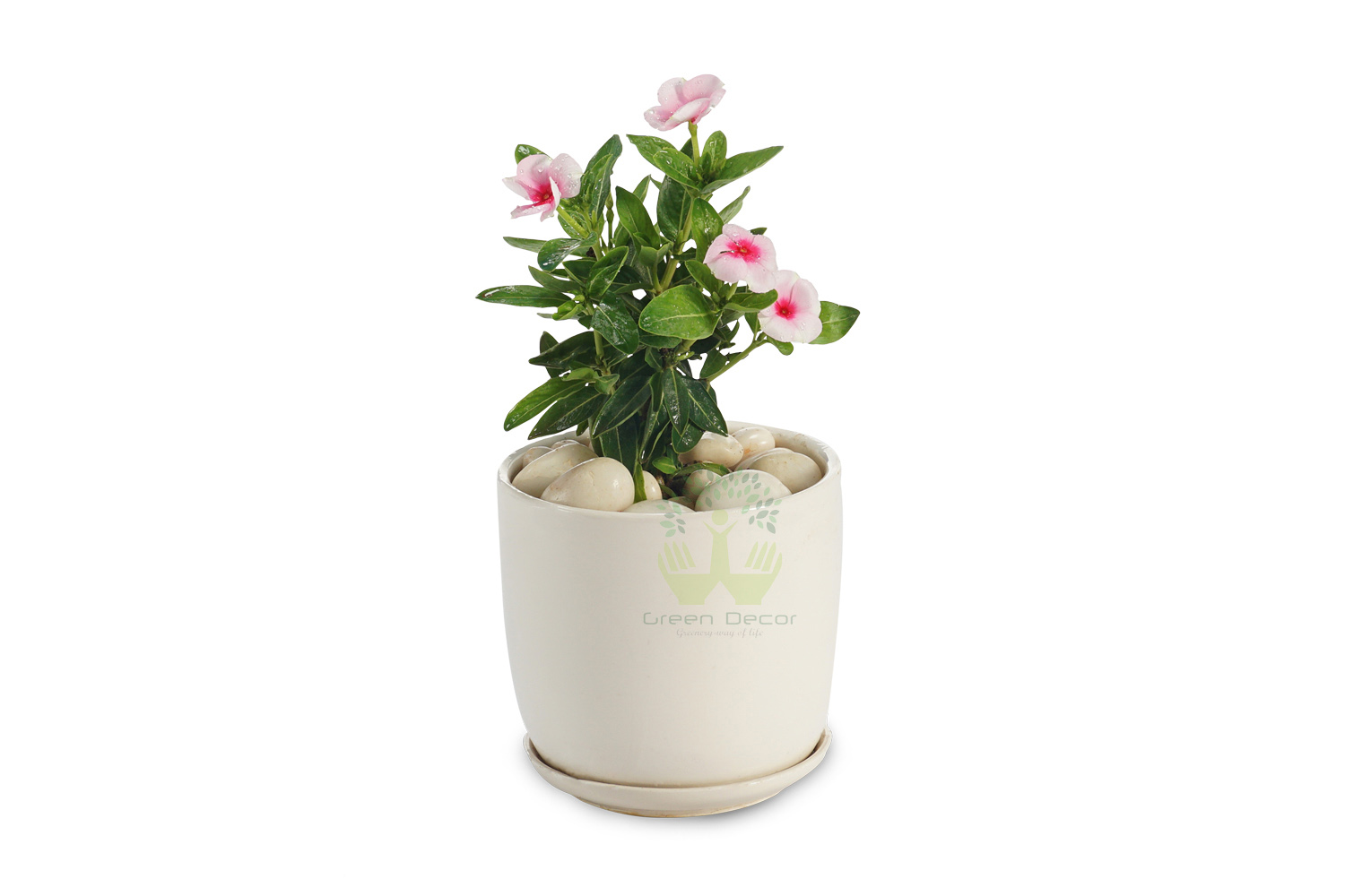 Buy Periwinkle pink Plants , White Pots and seeds in Delhi NCR by the best online nursery shop Greendecor.