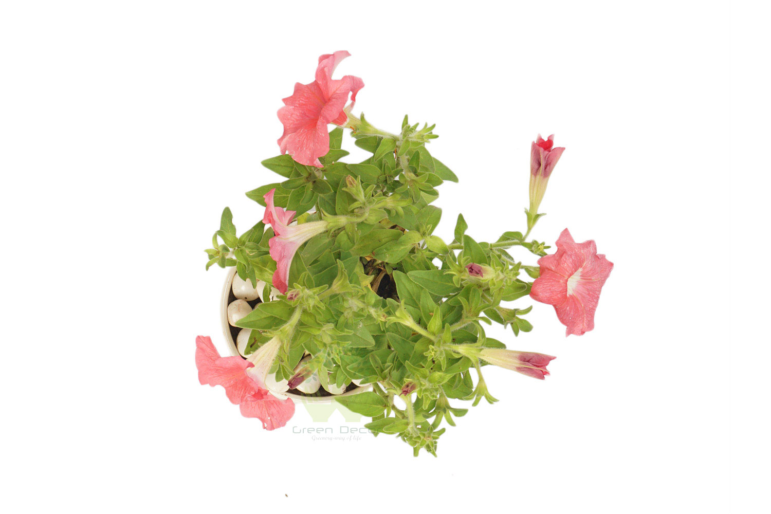 Buy Petunia Plants , White Pots and seeds in Delhi NCR by the best online nursery shop Greendecor.