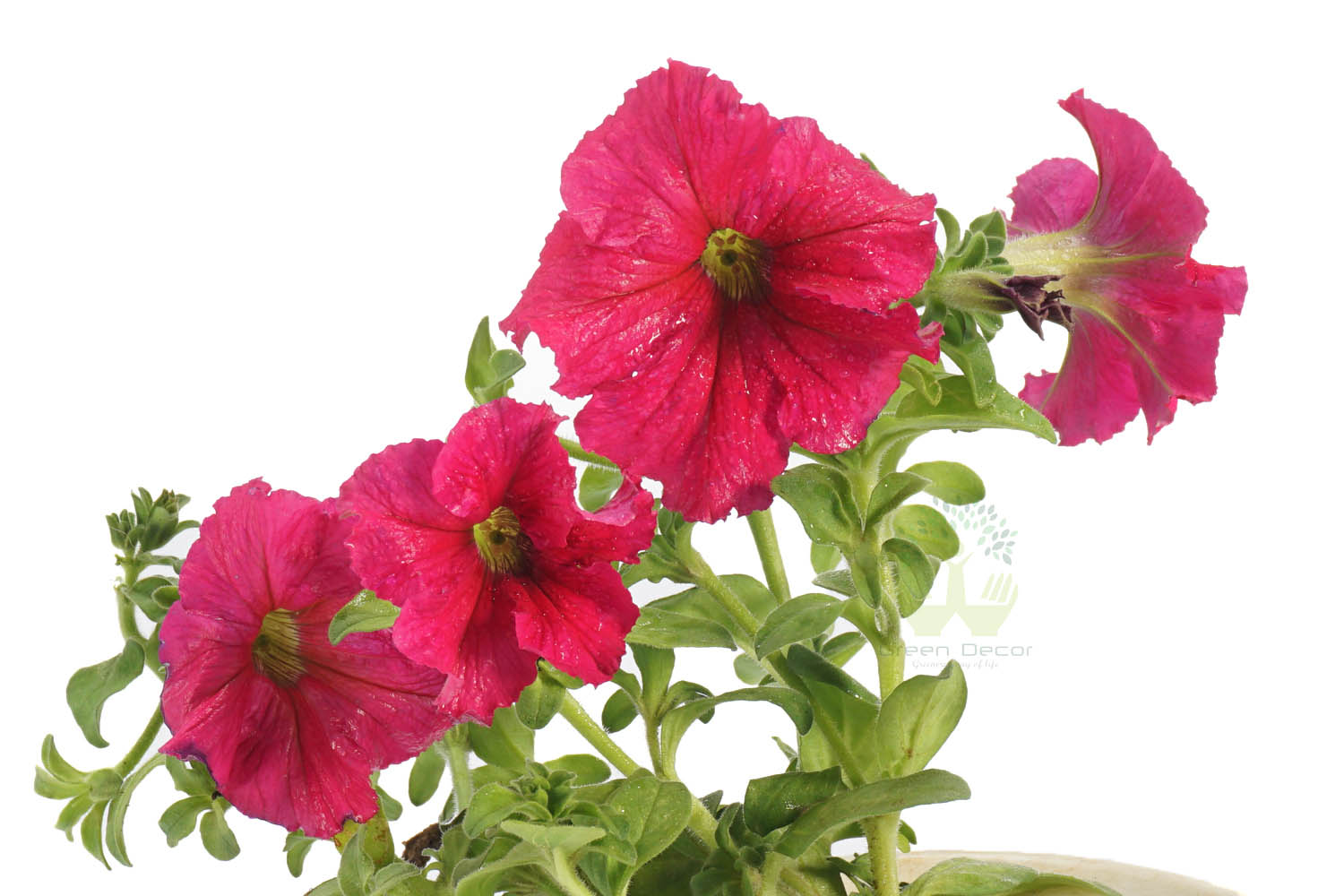 Buy Petunia  Pink Plants , White Pots and seeds in Delhi NCR by the best online nursery shop Greendecor.
