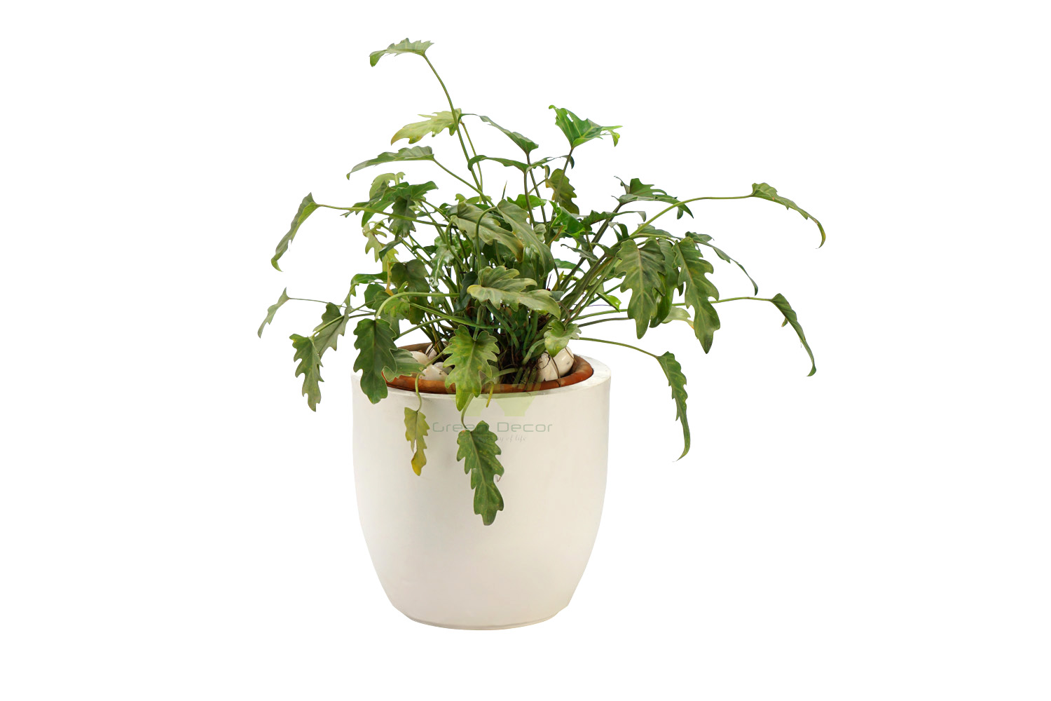 Buy Philodendron Xanadu Plant Front View, White Pots and Seeds in Delhi NCR by the best online nursery shop Greendecor.