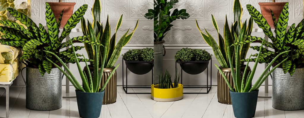 Buy indoor plants for air purification air purifying for Low maintenance air purifying plants