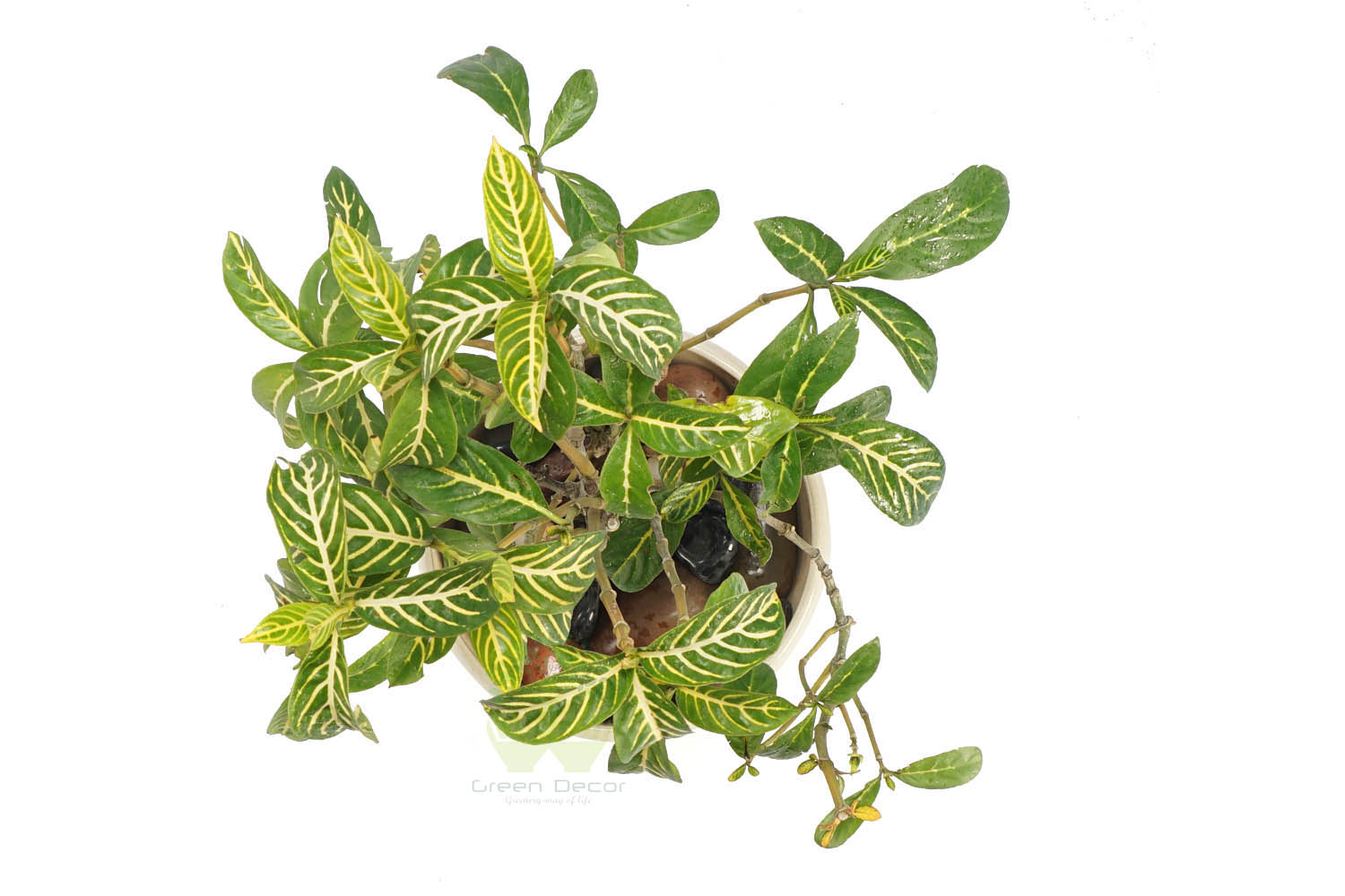 Buy Pilea Cadierei Plant Top View by the best online nursery shop Greendecor.